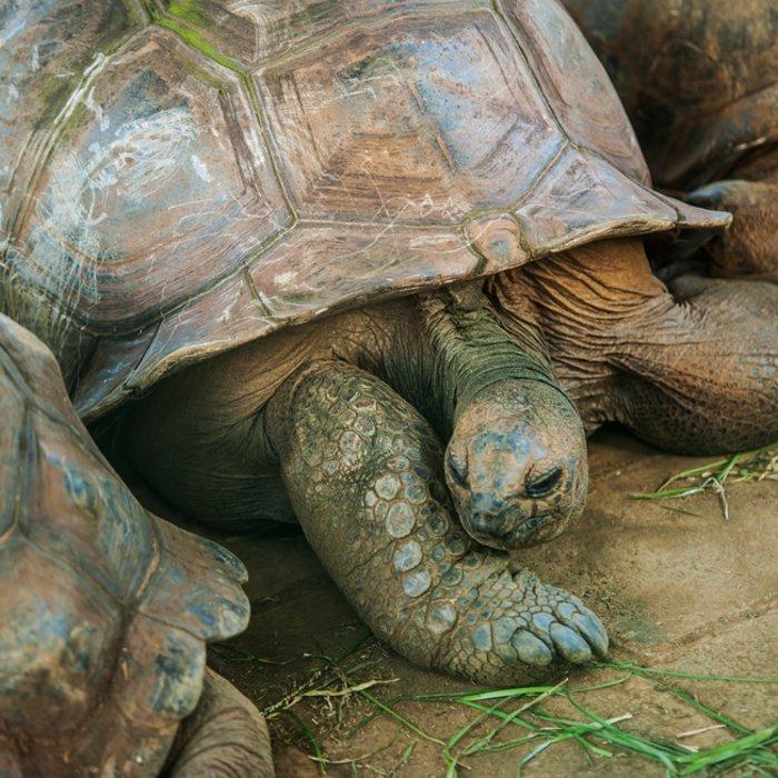 Die Riesenschildkröten des Botanischen Garten von Mauritius