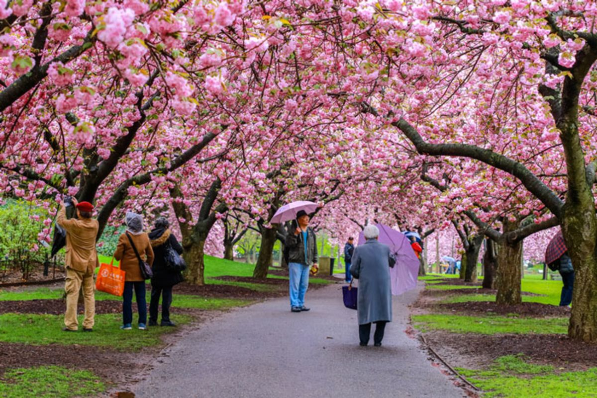 people-admiring-cherry-blossoms-in-brooklyn-botanical-garden