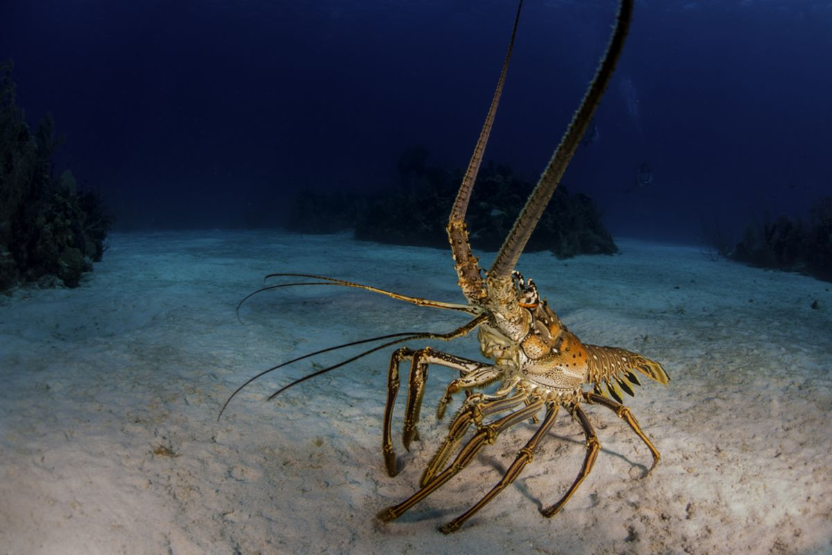 spiny-lobster-kw