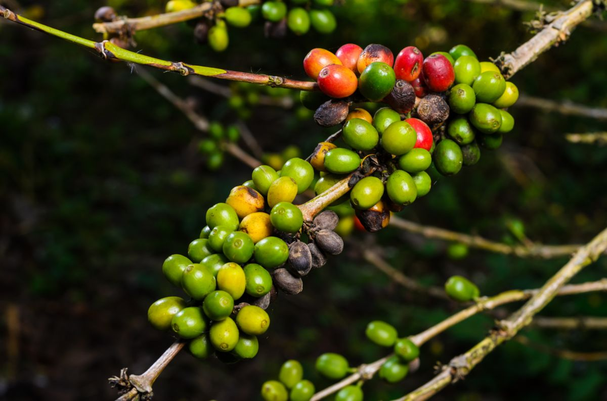 kona-coffee-growing