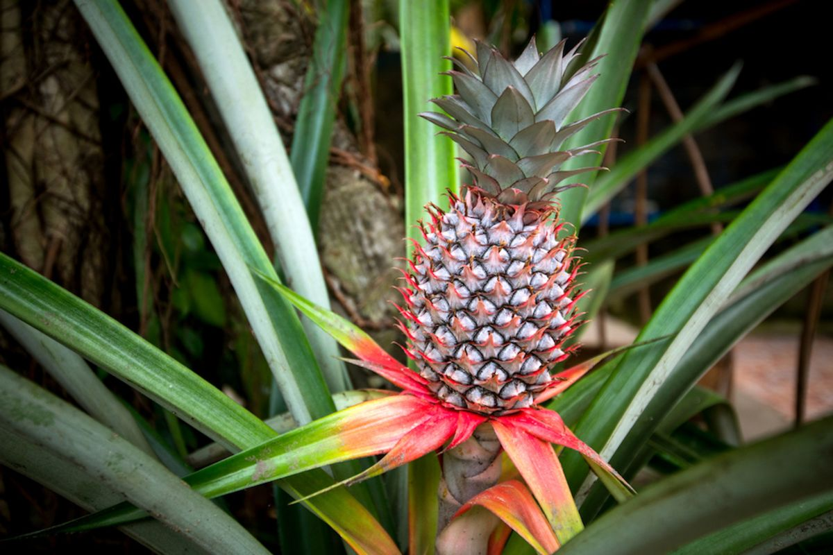 pineapple-bush-miami-beach-botanical-garden