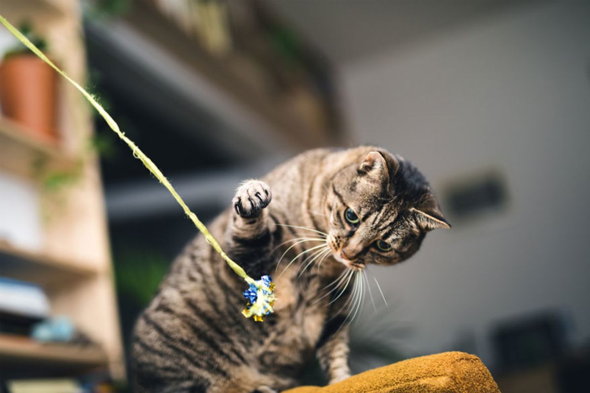 tabby-cat-playing-with-wand-toy