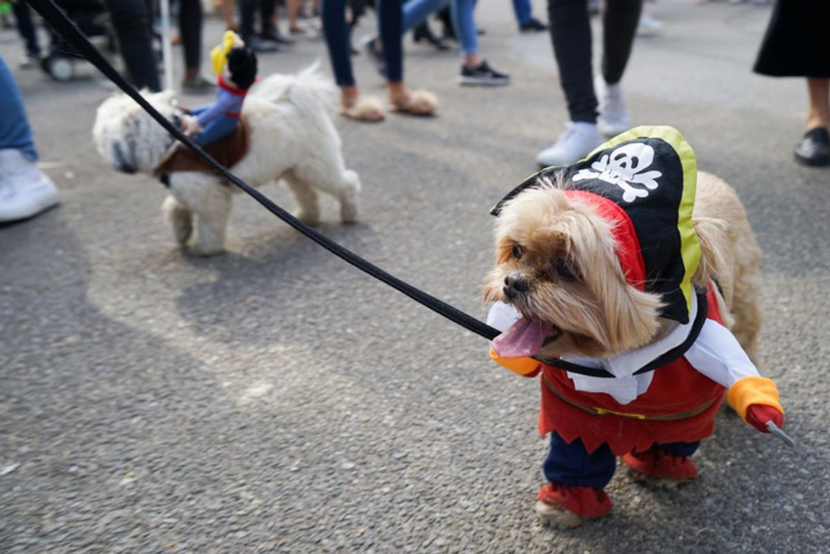 Small dog dressed as pirate in Halloween Dog Parade