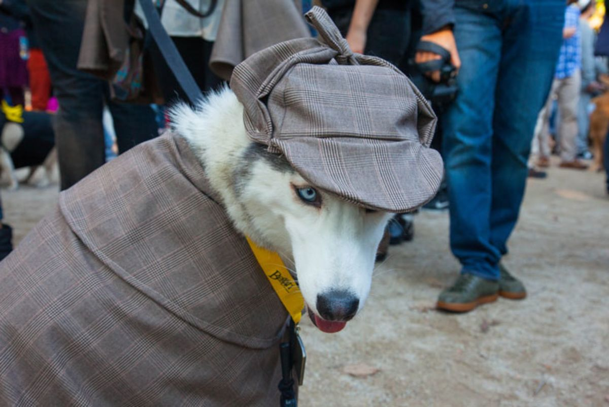 White husky with blue eyes wearing a Sherlock Holmes hat and coat.