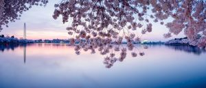 DC Blooming: Guide To The Cherry Blossoms in DC