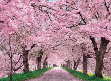 Get Into the Spring Spirit: Cherry Blossom Festival At The Brooklyn Botanical
