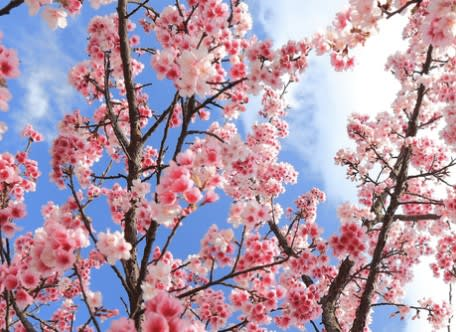 Spring Blossoms and Japanese Culture