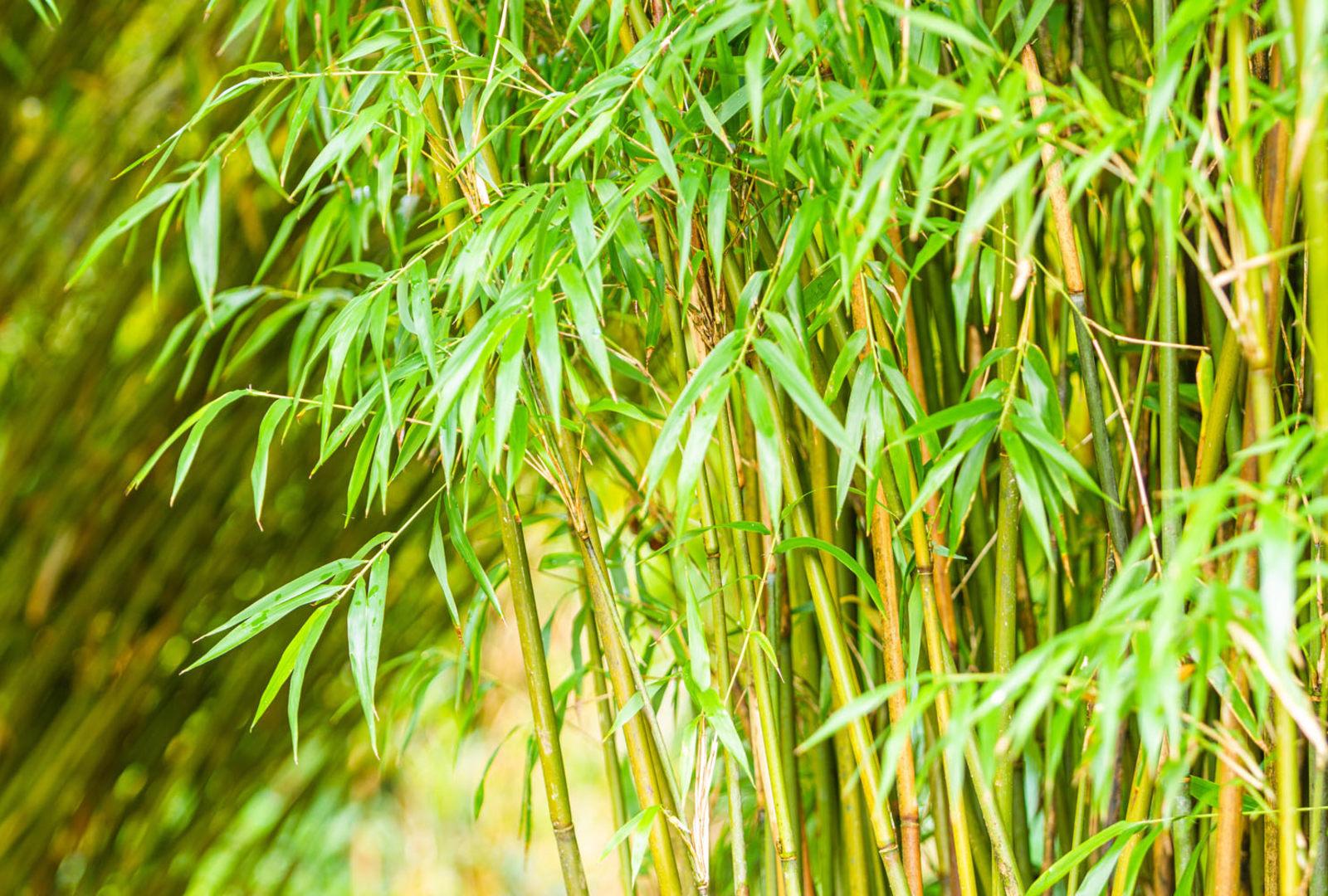 Yushania anceps