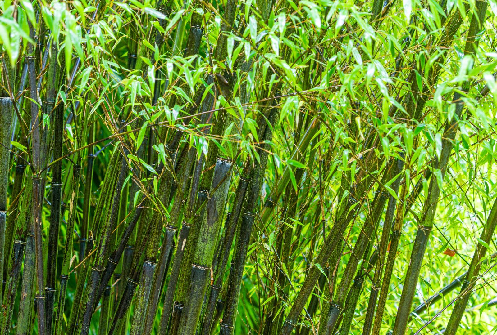 Phyllostachys nigra bamboo at trebah