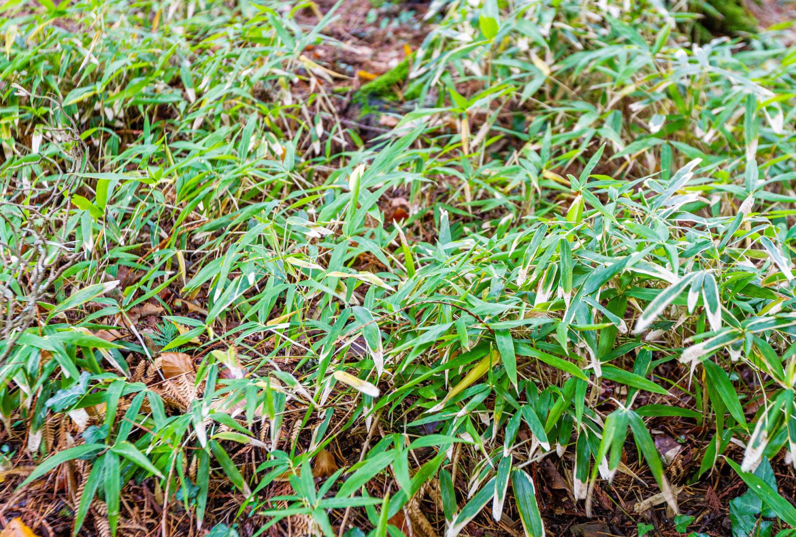 Sasaella ramosa bamboo at trebah