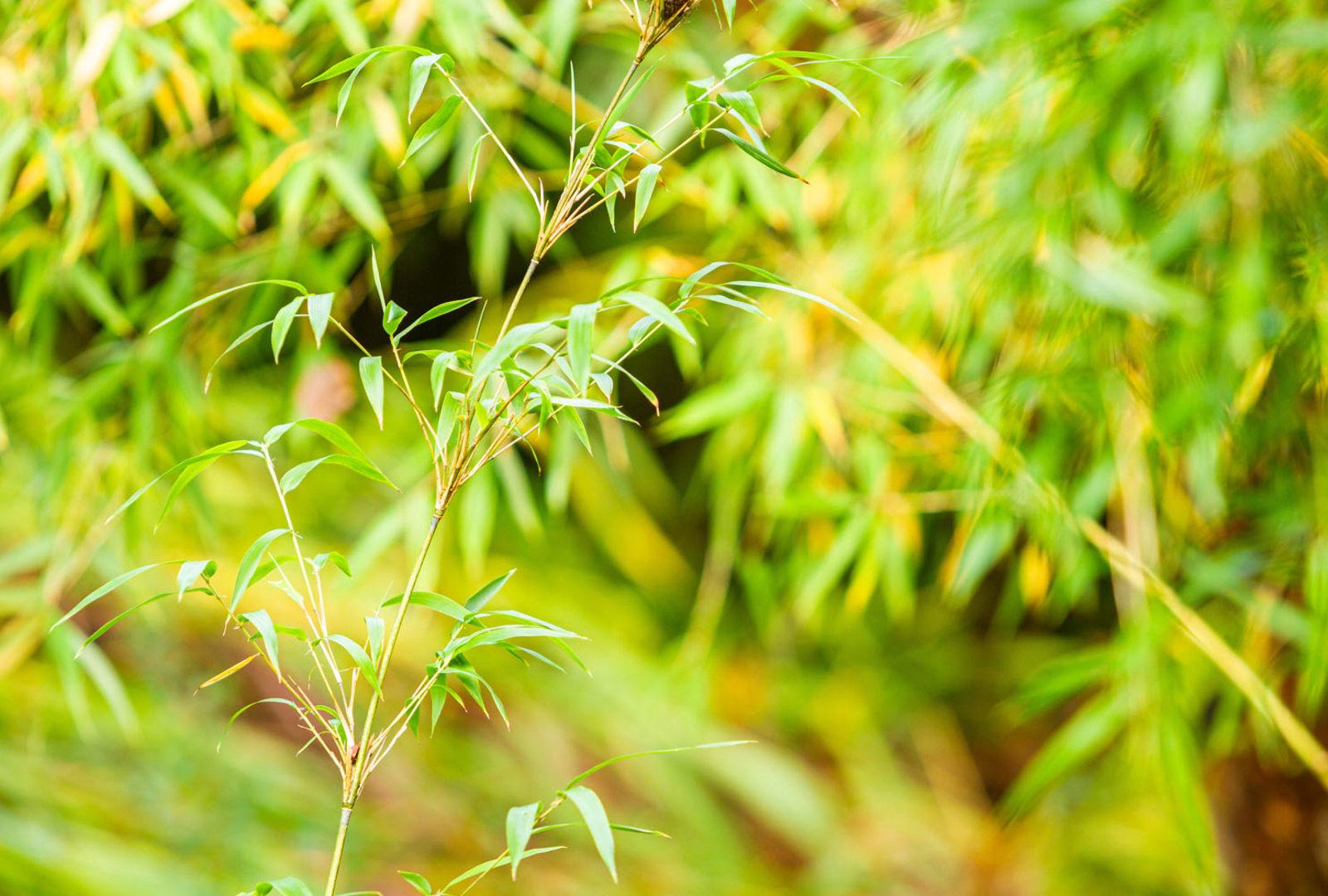 Shibataea kumasasa bamboo at trebah