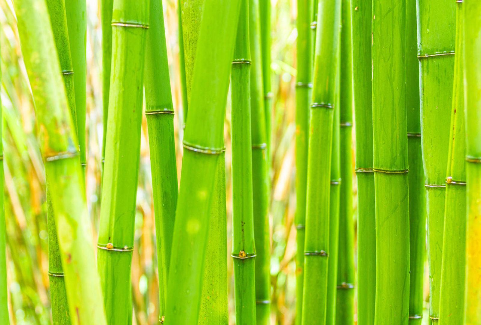 Phyllostachys bambusoides bamboo at trebah