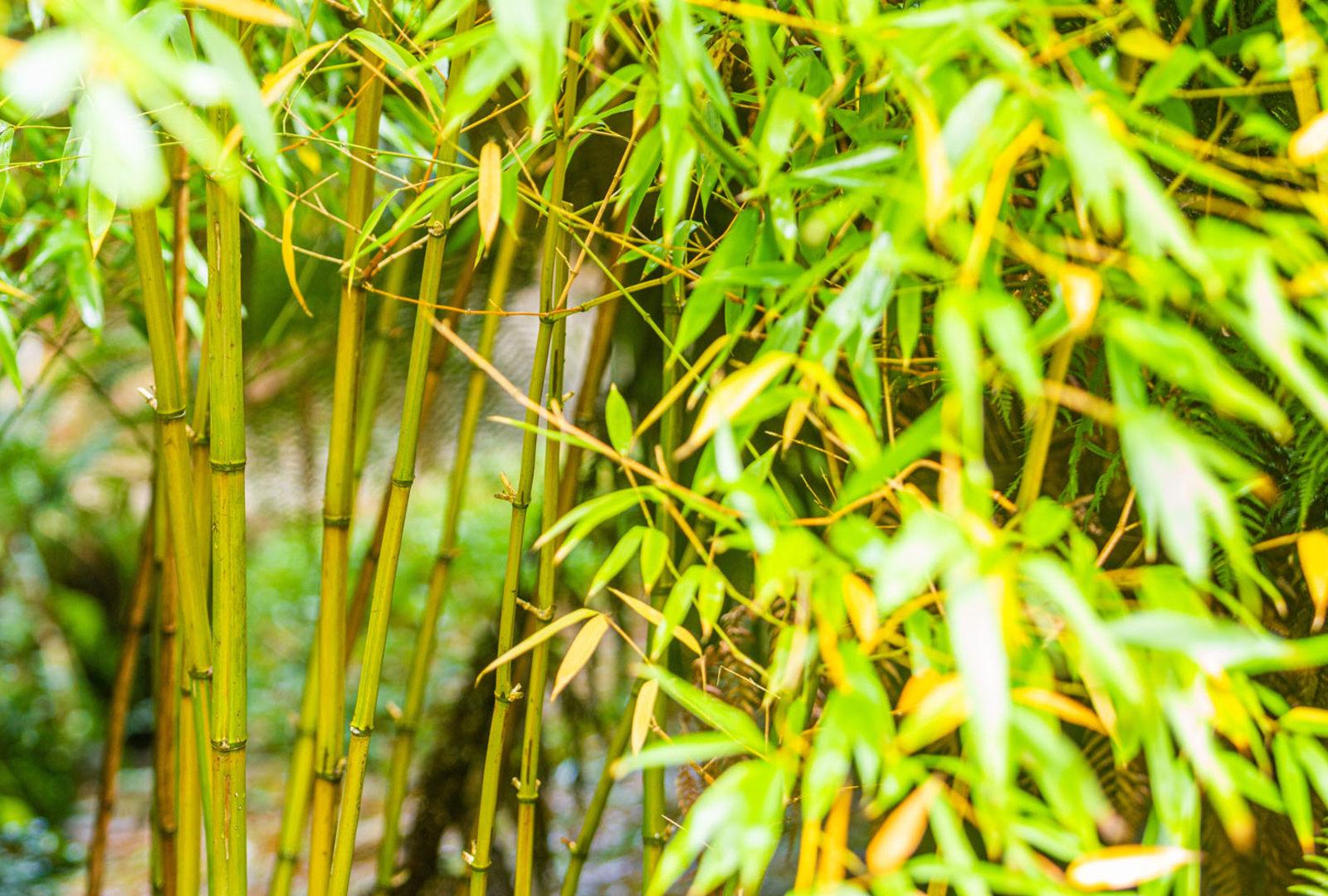 Phyllostachys bambusoides 'Violascens' bamboo at trebah