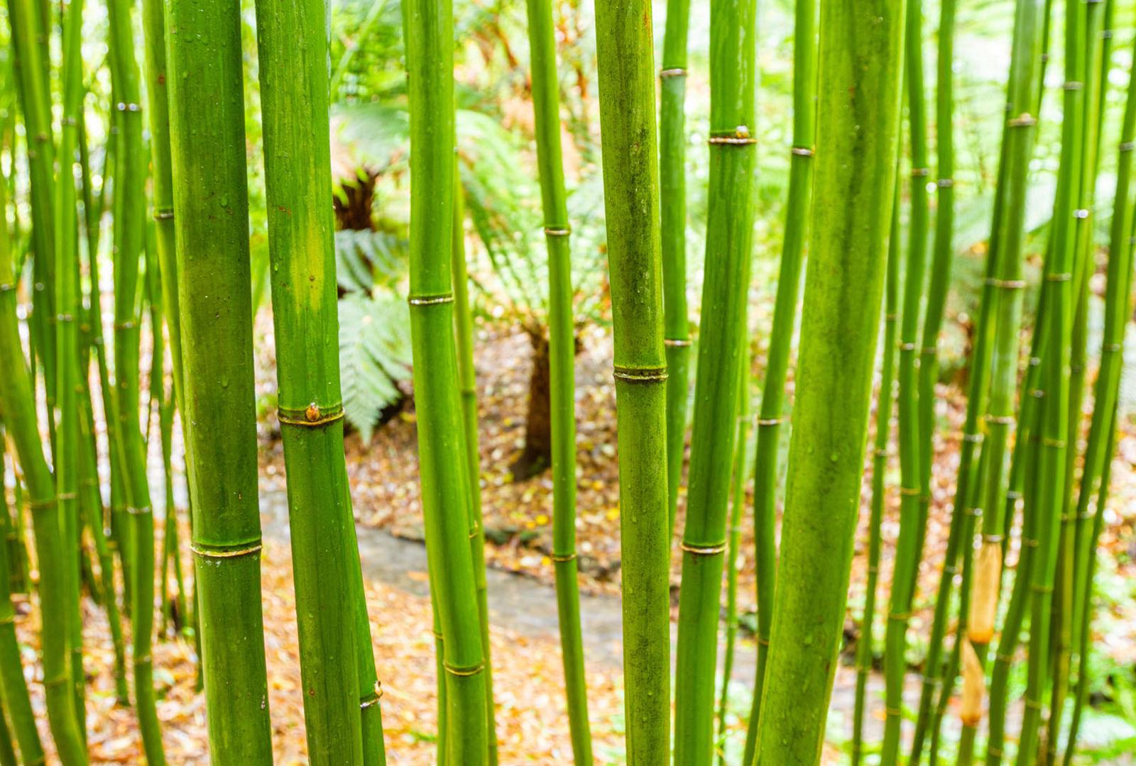Semiarundinaria fastuosa bamboo at trebah