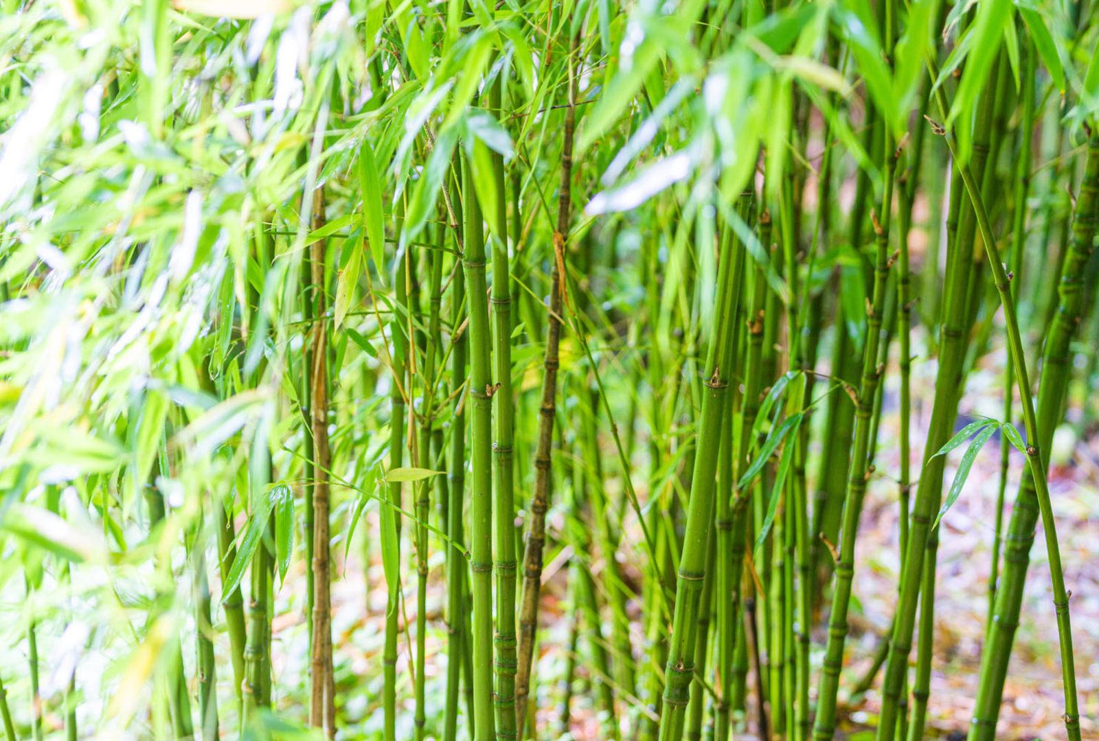 Phyllostachys aurea bamboo at trebah