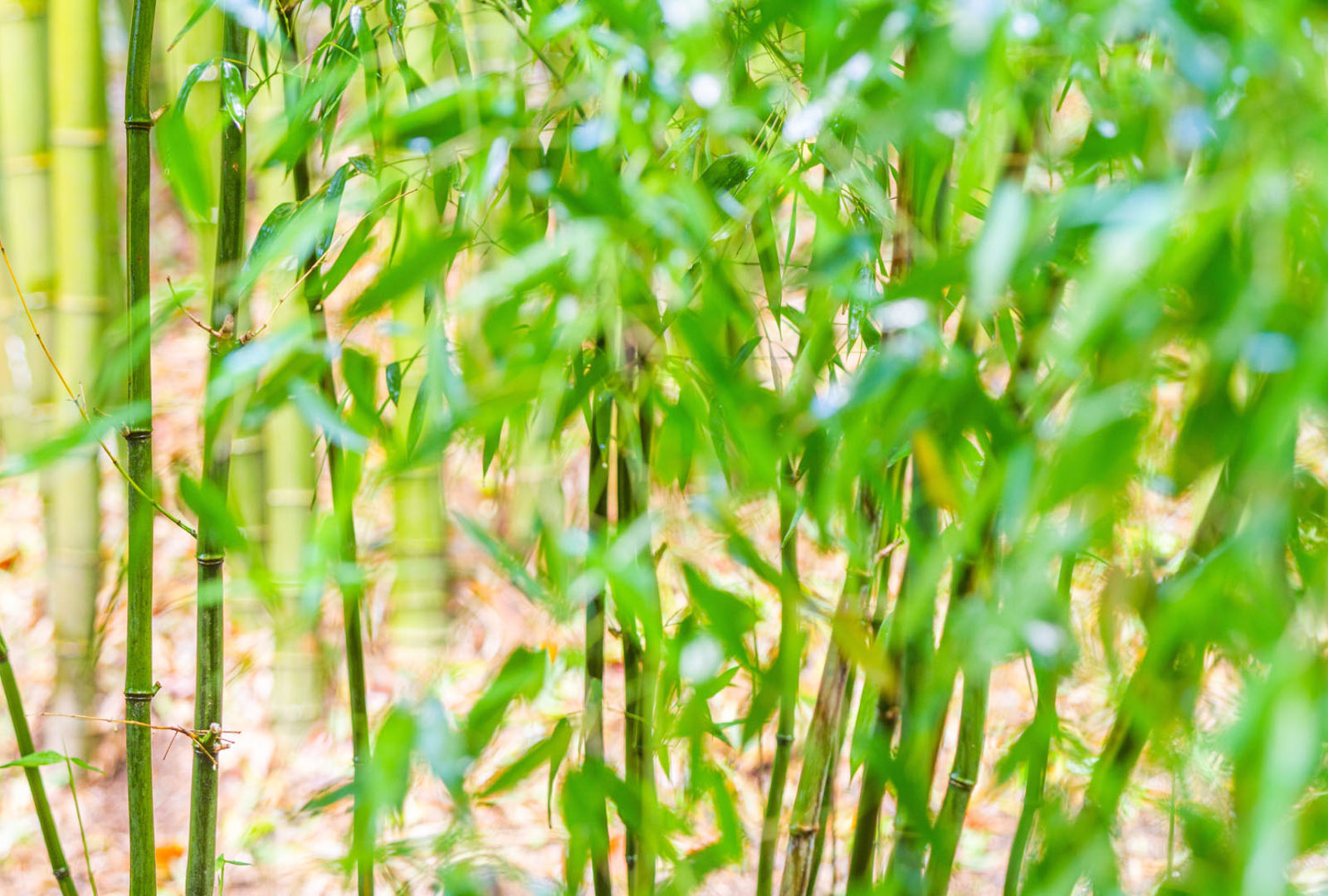 Phyllostachys aureosulcata bamboo at trebah