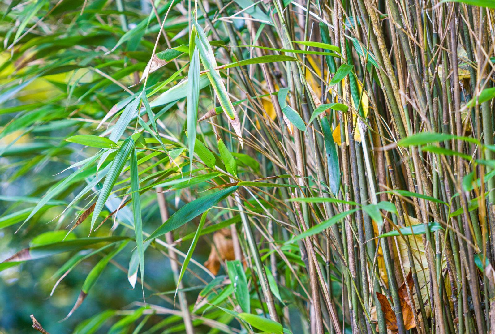 Pseudosasa japonica bamboo at trebah