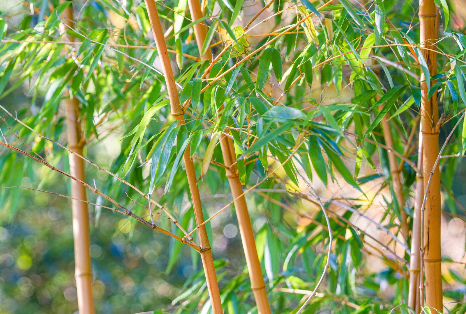 Phyllostachys vivax f. aureocaulis bamboo at trebah