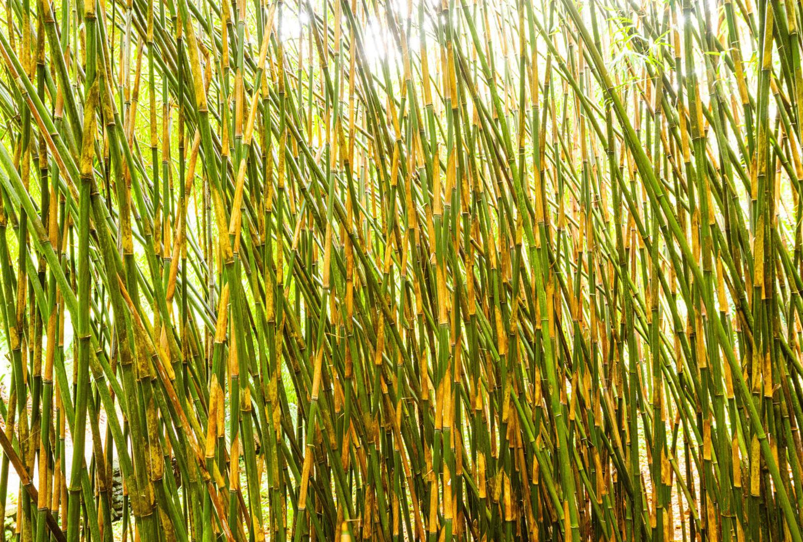 Yushania maling bamboo at trebah