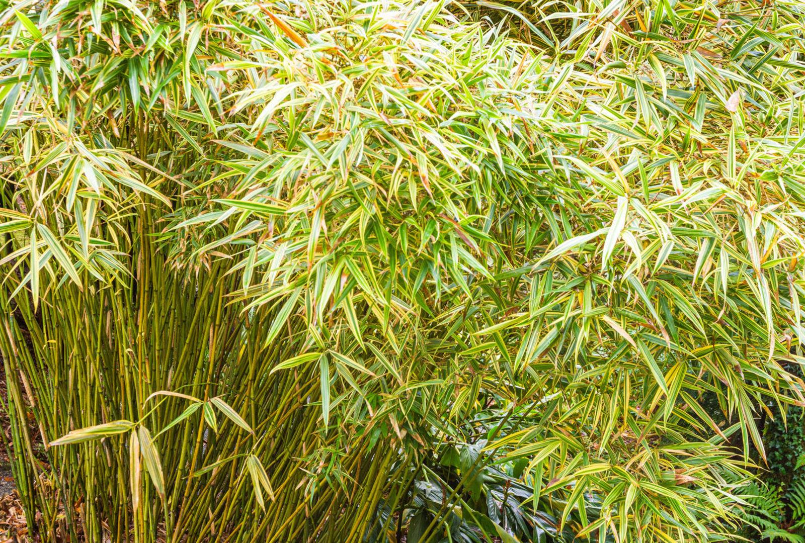 Phyllosasa tranquillans bamboo at trebah