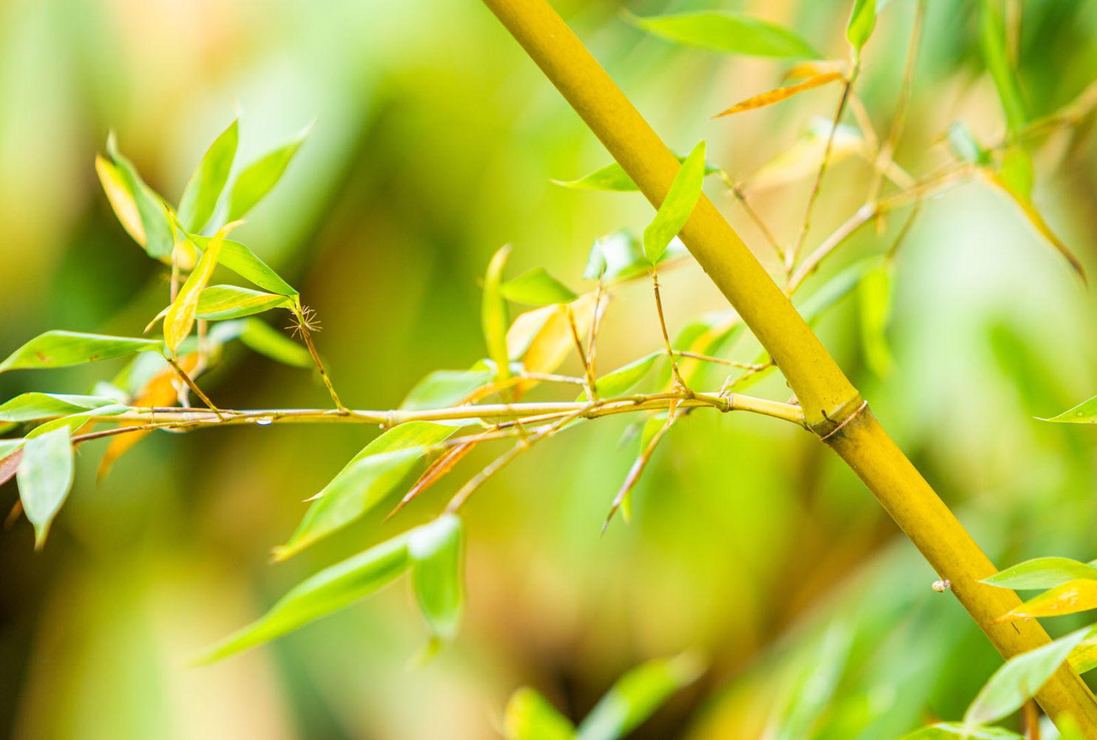 Phyllostachys sulphurea f. sulphurea bamboo at trebah