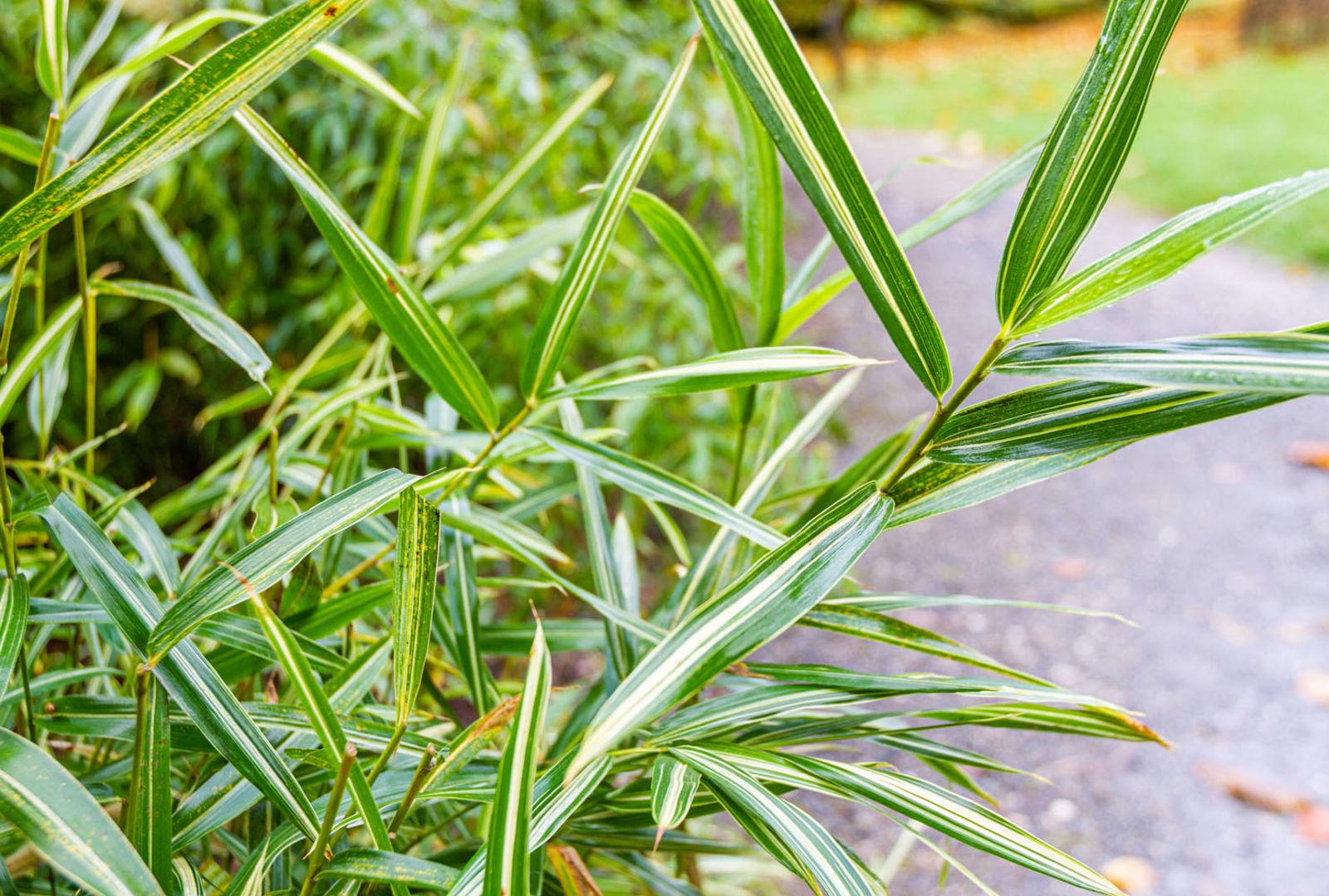 Pleioblastus fortunei bamboo at trebah