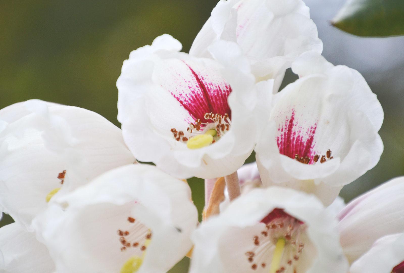 Rhododendron 'Trebah Gem' at trebah