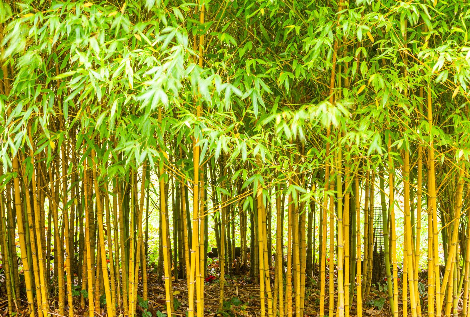 Phyllostachys aurea 'Holochrysa' bamboo at trebah