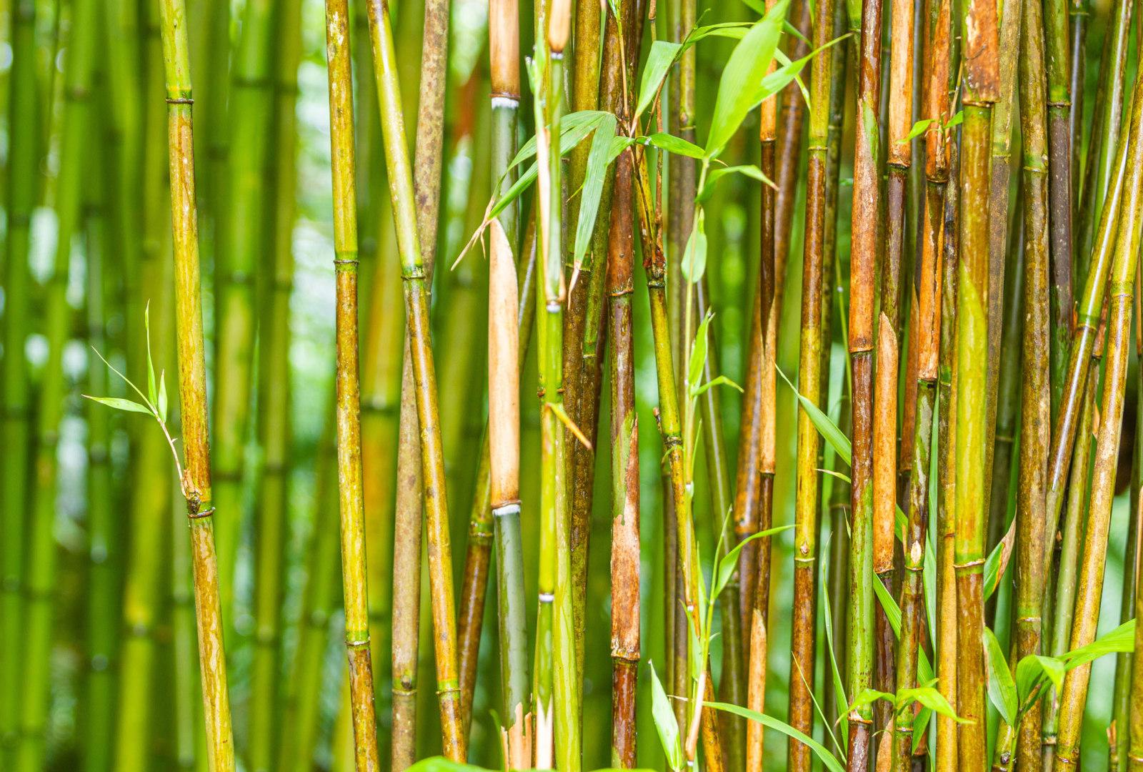 Pleioblastus simonii bamboo at trebah
