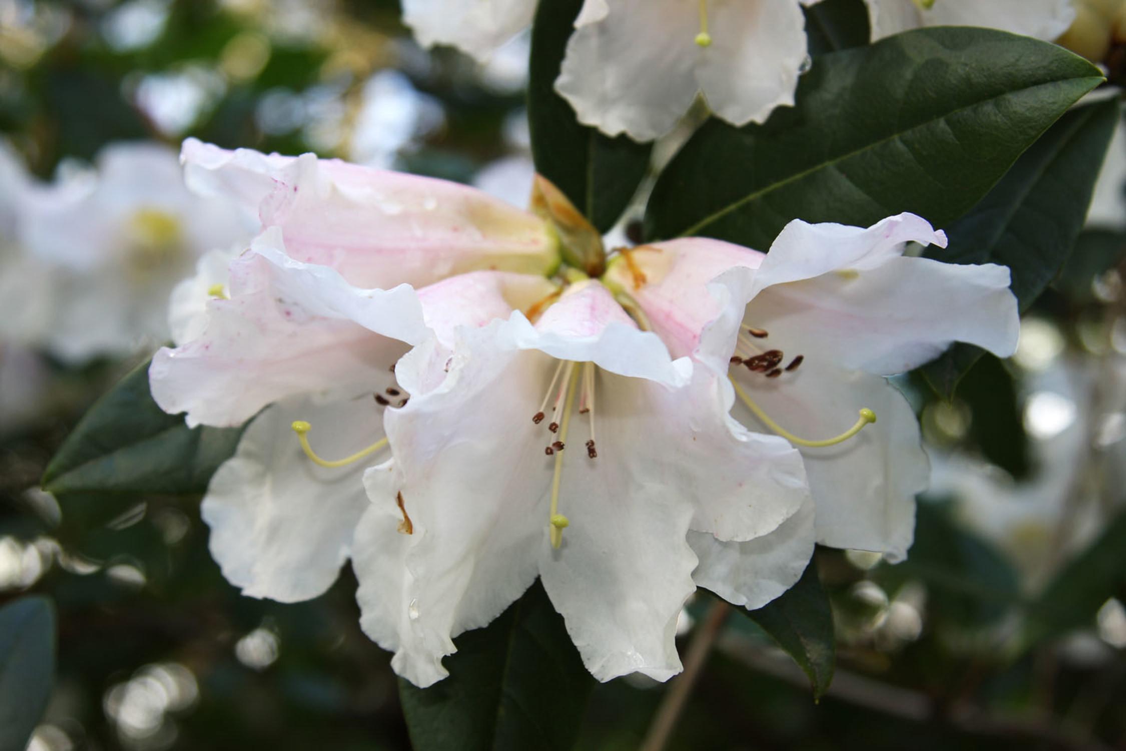 Spring Rhododendrons At Trebah