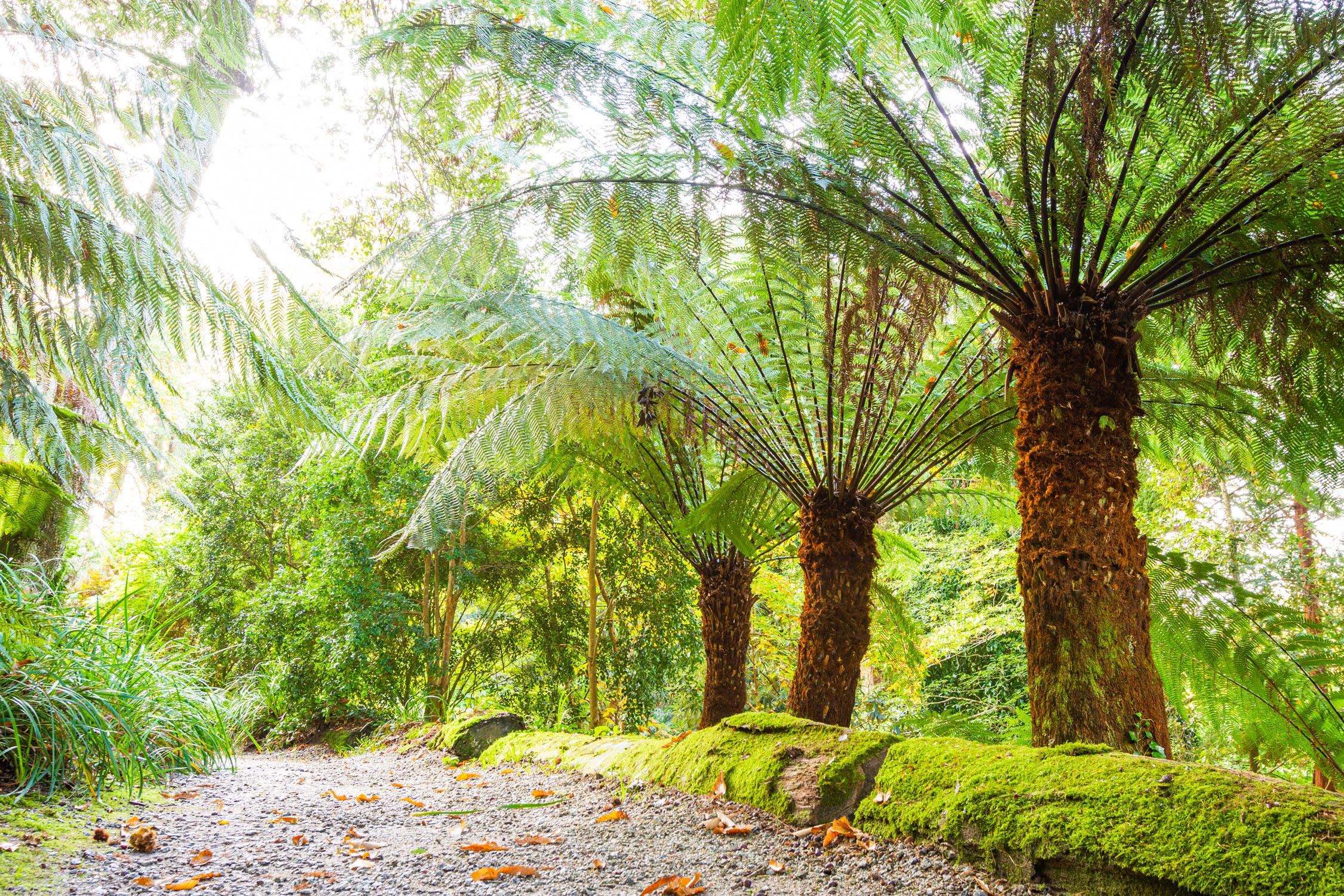 Trebah's Terrific Tree Ferns