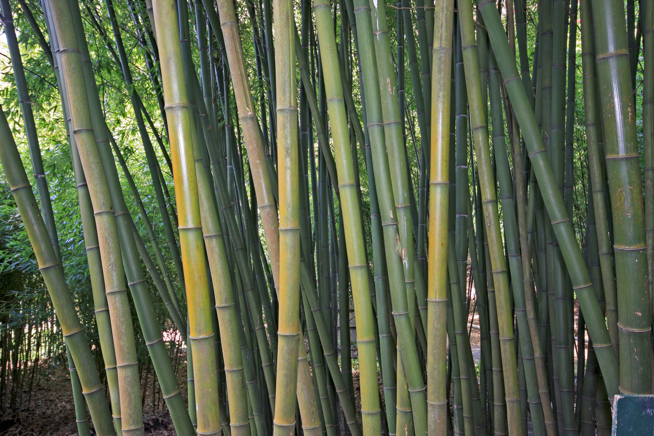 A Beast of a Bamboo