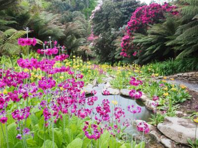 Candelabra Primulas