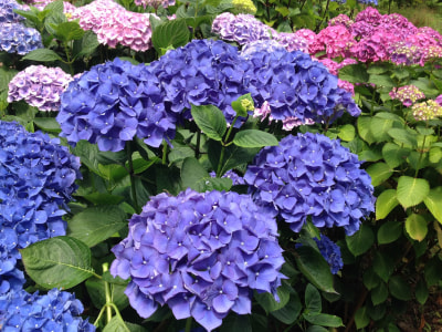 Our Hydrangeas Keep On Blooming!