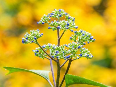 Healing Hydrangea Relative
