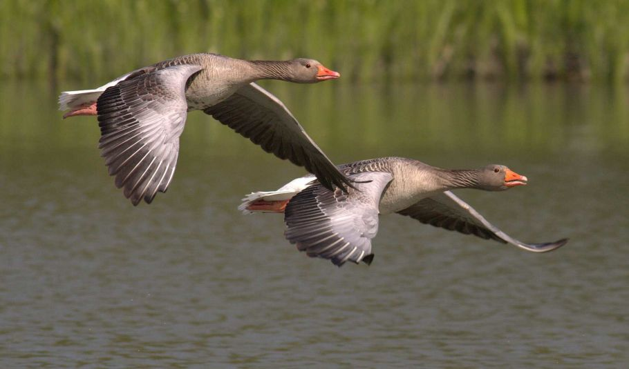 geese in nepal