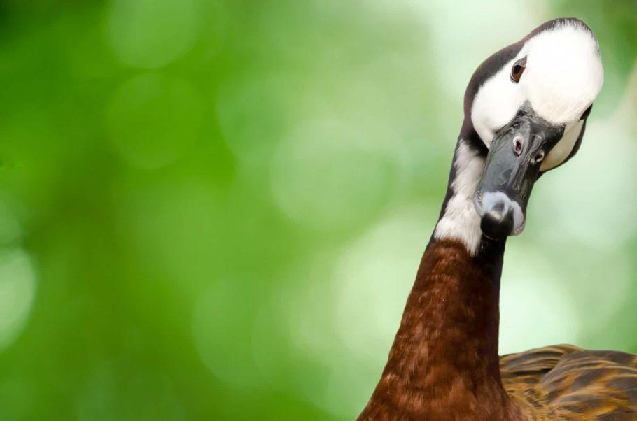 goose in nepal