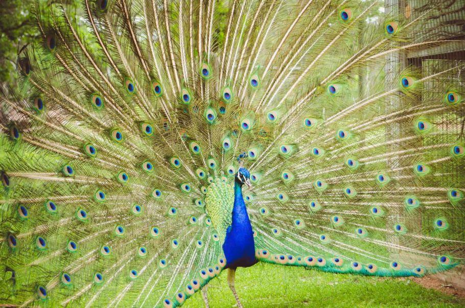 peacock in nepal
