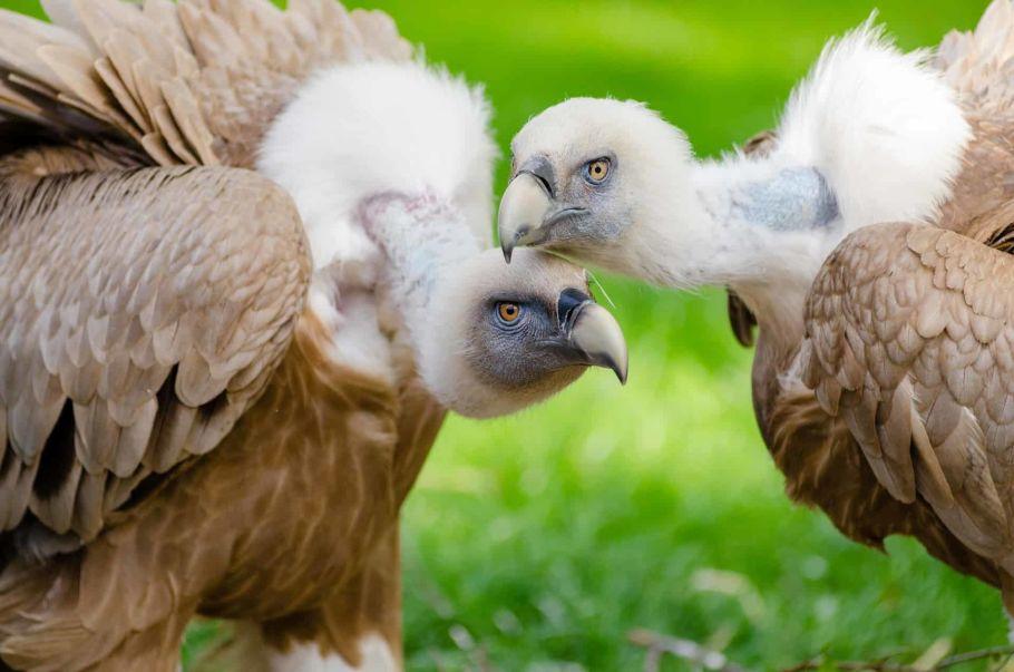 vulture in nepal