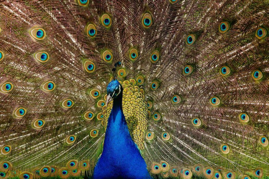 peacock of nepal
