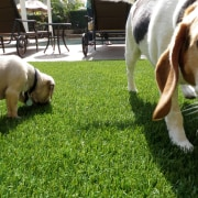 Residential landscape - Residential landscape - beagle | beagle, dog, dog breed, dog breed group, dog like mammal, grass, hound, lawn, plant, snout, green