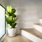 Fiddle leaf - Instagram's most popular houseplants revealed!