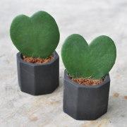 Hoya - Instagram's most popular houseplants revealed! -
