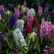 Hyacinth bulbs love being a sunny, well drained