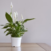 Peace lily - Instagram's most popular houseplants revealed!