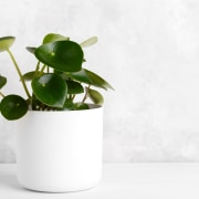 Peperomia - Instagram's most popular houseplants revealed! -