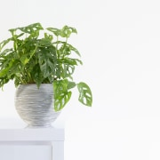 Philodendron - Instagram's most popular houseplants revealed! -