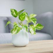 Pothos - Instagram's most popular houseplants revealed! -