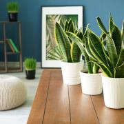 Snake plant - Instagram's most popular houseplants revealed!