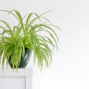 Spider plant - Instagram's most popular houseplants revealed!